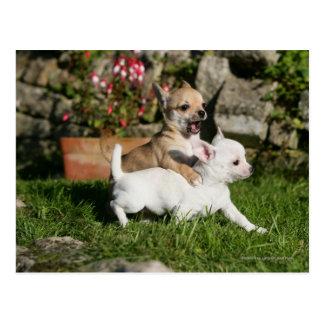 El jugar del perrito de la chihuahua tarjeta postal