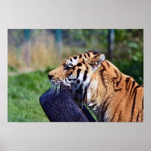 El jugar del tigre póster