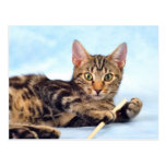 El jugar lindo del gatito tarjetas postales