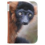 El Lemur superado rojo enciende la caja en folio