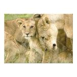 El león Cub Nuzzling con él es madre Impresión De Lienzo