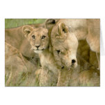 El león Cub Nuzzling con él es madre Tarjeta