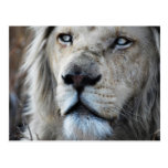 El león escucha mi latido del corazón postal