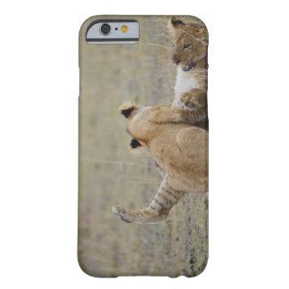 El león (Panthera leo) pare jugar en la hierba, Funda Barely There iPhone 6