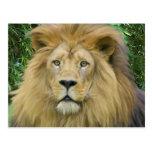 El león tarjetas postales