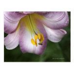 El Lilium regale es un lirio florecido trompeta, Postales
