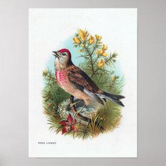 El Linnet color de rosa Póster