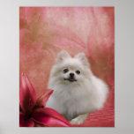 El lirio blanco del perro de Pomeranian florece el