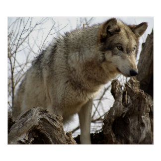 El lobo femenino alfa en el reloj póster