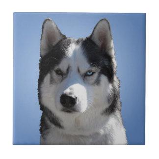 El lobo fornido del Malamute de la baldosa Azulejo Cuadrado Pequeño