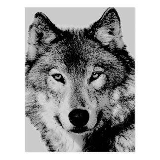 El lobo gris observa la postal
