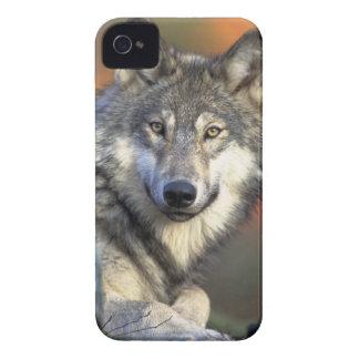 El lobo iPhone 4 protectores