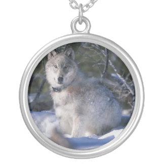 El lobo pega un collar de la actitud