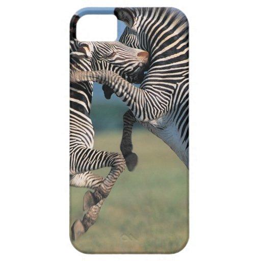 El luchar de las cebras (burchelli del Equus) iPhone 5 Carcasa