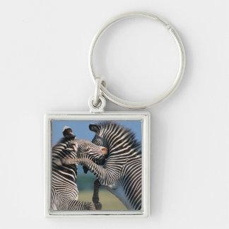 El luchar de las cebras (burchelli del Equus) Llavero
