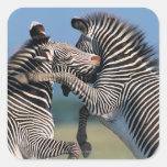 El luchar de las cebras (burchelli del Equus) Calcomanía Cuadrada
