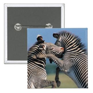 El luchar de las cebras (burchelli del Equus) Pin