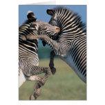 El luchar de las cebras (burchelli del Equus) Felicitacion