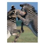 El luchar de las cebras (burchelli del Equus) Tarjetas Postales