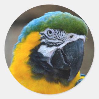el macaw del azul y del oro repite mecánicamente pegatina redonda