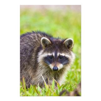 El mapache, lotor del Procyon, es un extenso, 2 Fotografía