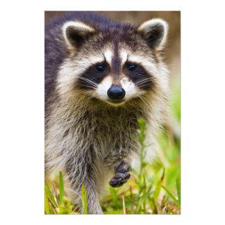 El mapache, lotor del Procyon, es un extenso, 3 Fotografía