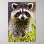 El mapache, lotor del Procyon, es un extenso, 3 Impresiones
