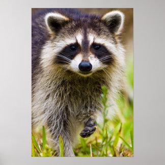 El mapache, lotor del Procyon, es un extenso, 3 Póster