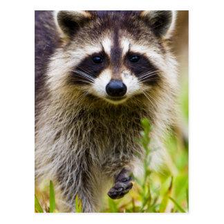 El mapache, lotor del Procyon, es un extenso, 3 Tarjetas Postales