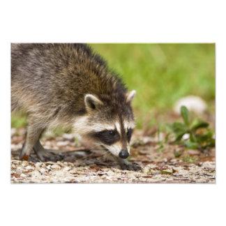 El mapache, lotor del Procyon, es un extenso, 4 Fotografías