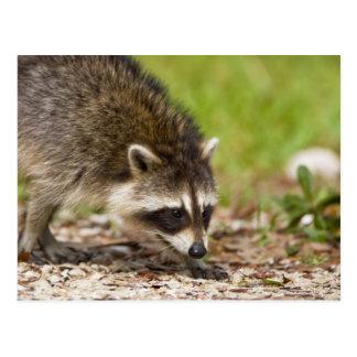 El mapache, lotor del Procyon, es un extenso, 4 Postales
