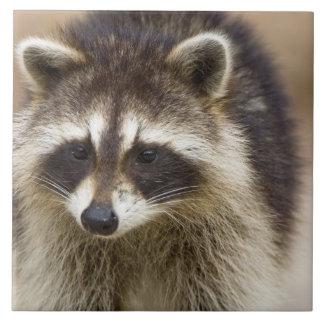 El mapache, lotor del Procyon, es un extenso, Azulejo Cuadrado Grande