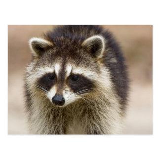 El mapache, lotor del Procyon, es un extenso, Postales