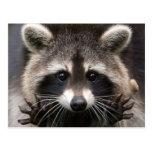 El mapache norteamericano postales