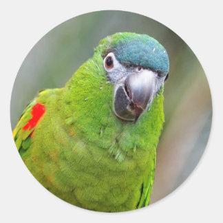 El mini Macaw de Hahn/Rojo-Llevó a hombros el Pegatina Redonda