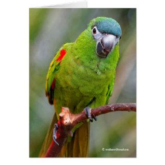 El mini Macaw de Hahn/Rojo-Llevó a hombros el Tarjeta De Felicitación