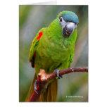 El mini) Macaw de un Hahn amistoso ( Tarjeta De Felicitación