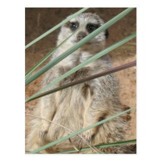 El mirar a escondidas de Meerkat Postales