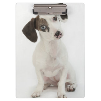 El mirar fijamente femenino del perrito del Dachsh
