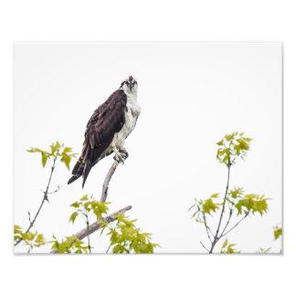 El mirar fijamente Osprey Cojinete