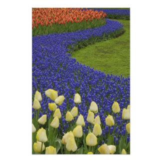 El modelo del jardín del jacinto de uva florece y  fotografías