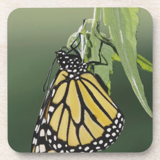 El monarca, plexippus del Danaus, adulto emergió n Posavaso