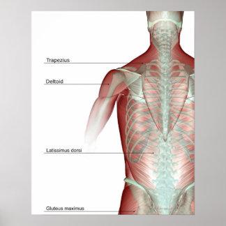 El musculoskeleton del cuerpo superior impresiones