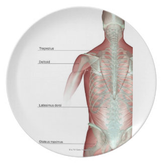 El musculoskeleton del cuerpo superior platos de comidas