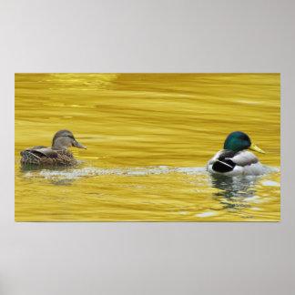 El nadar en oro posters