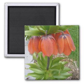 El naranja de Imperialis del Fritillaria florece Imán Cuadrado