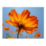 El naranja de la margarita florece margaritas de l postales