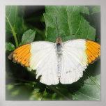 El naranja inclinó la impresión blanca de Buterfly Posters