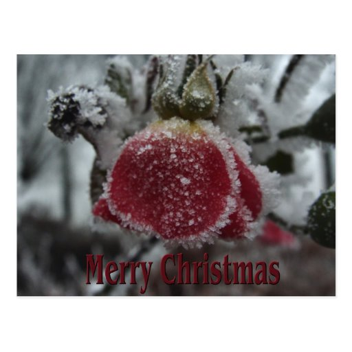 El navidad heló el rosa rojo tarjeta postal