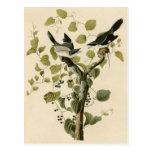 El necio Shrike de Audubon Postales